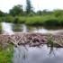 Regno Unito – Castori per migliorare i territori fluviali. Le costruzioni naturali incrementano i Servizi Ecosistemici