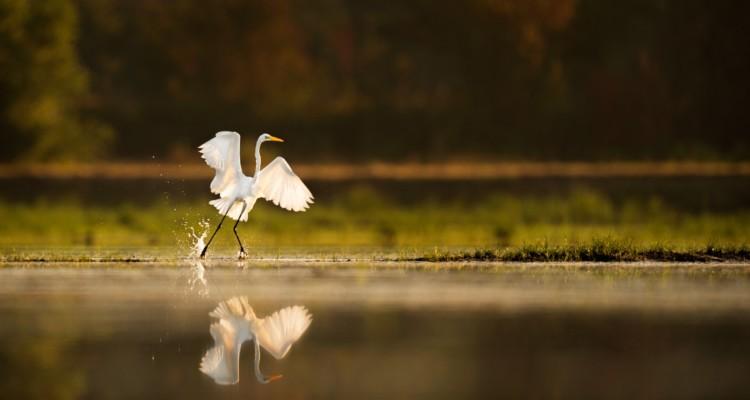 Airone Bianco prende il volo ai margini di una zona umida