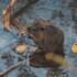 Il castoro solitario ritorna sulle Dolomiti